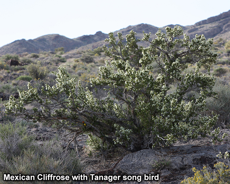 Small Mexican Cliffrose Picture 1